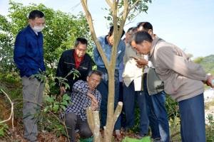 平山镇:改良荔枝品种 助农增产增收